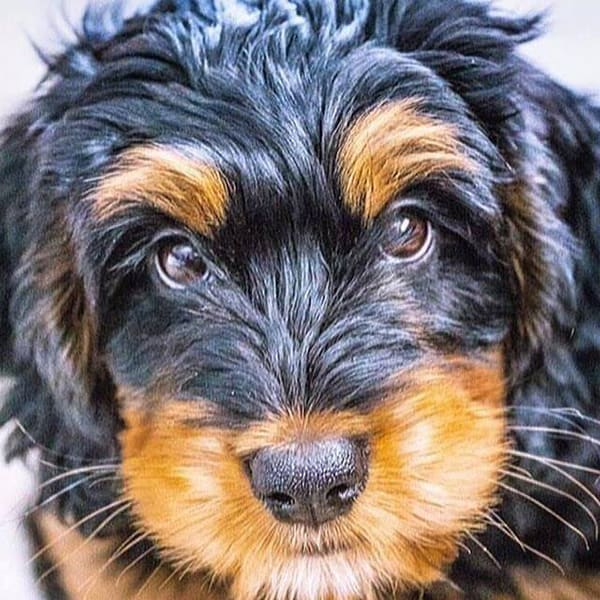 Midwest Bernedoodles Your Perfect Companion Dog