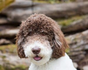close up of Rocky the poodle