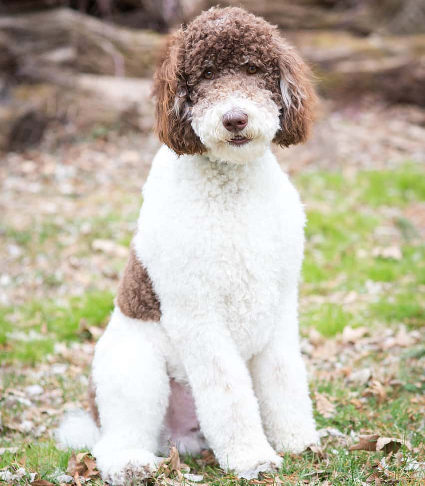 Rocky the poodle