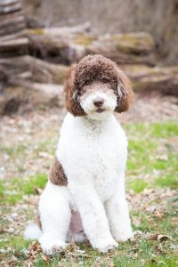 Rocky the poodle sitting