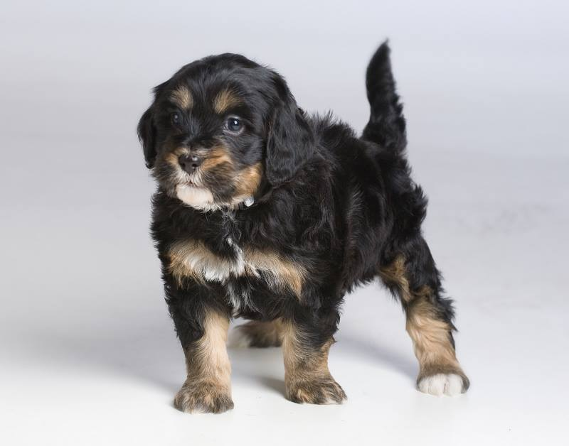 allergy friendly Bernedoodle puppy